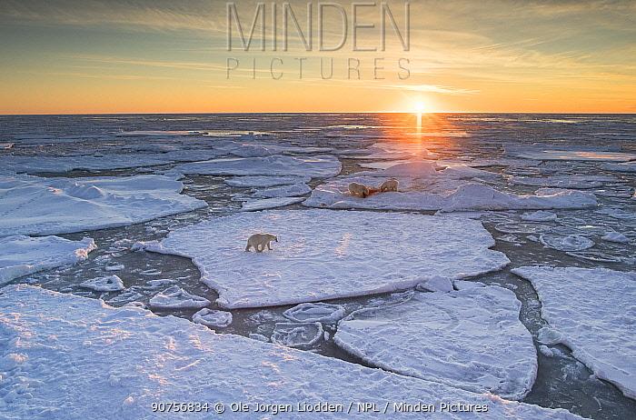 Polar bear (Ursus maritimus) on drifting ice, Svalbard, Norway, September. September