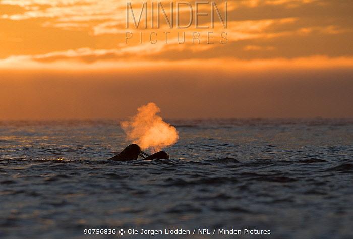 Walrus (Odobenus rosmarus) breathing at surface, backlit at sunset, Svalbard, Norway September