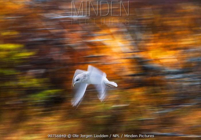 Thayer's gull (Larus thayeri) in flight, blurred motion. Katmai, Alaska
