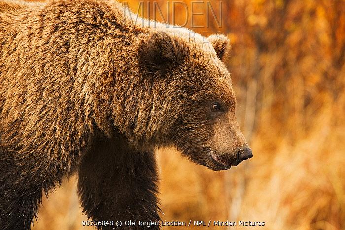 Grizzly bear (Ursus arctos) portrait, Katmai, Alaska, USA