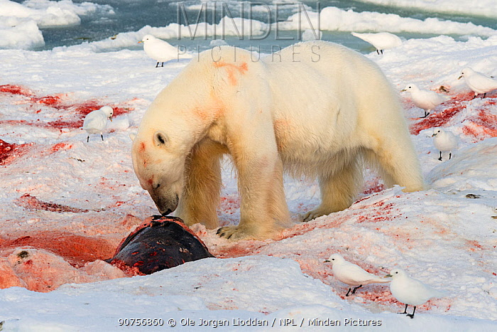 Polar bear (Ursus maritimus) feeding on seal with Ivory gulls (Pagophila eburnea) standing by,  Svalbard, Norway September