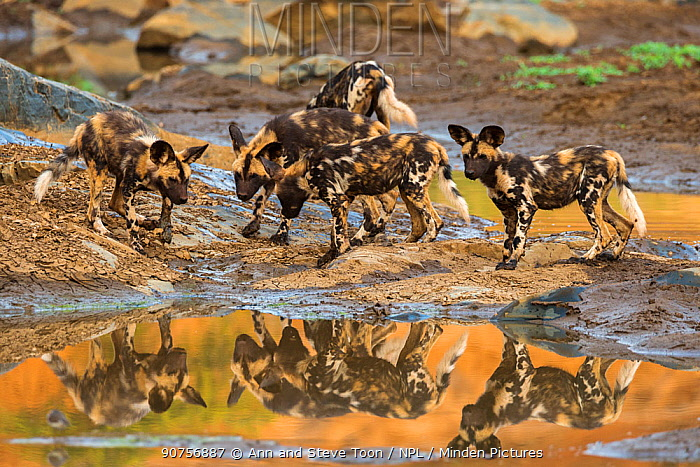 African wild dog (Lycaon pictus) pups from pack exploring, Zimanga private game reserve, KwaZulu-Natal, South Africa, September.