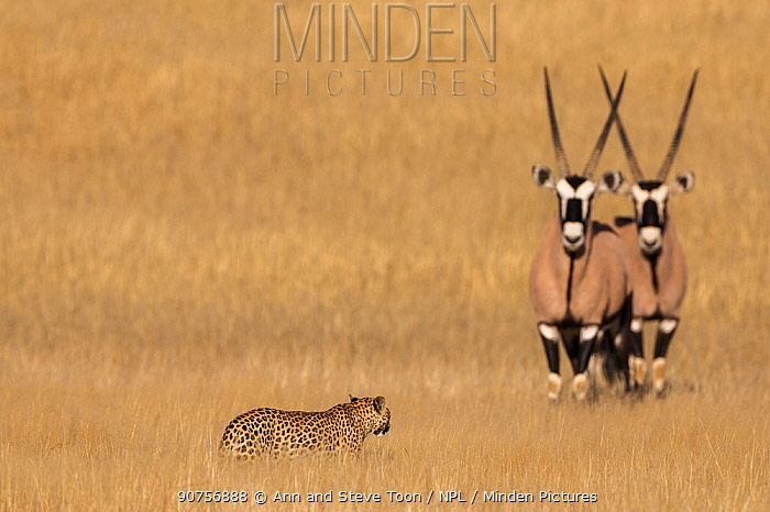 Leopard female (Panthera pardus) watched by two Gemsbok (Oryx gazella), Kgalagadi transfrontier park, South Africa, June.