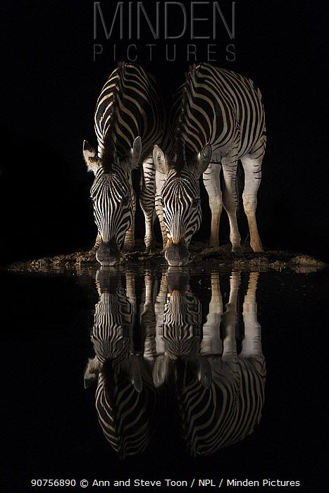 Plains zebra (Equus quagga) drinking at night, Zimanga private game reserve, KwaZulu-Natal, South Africa, September.