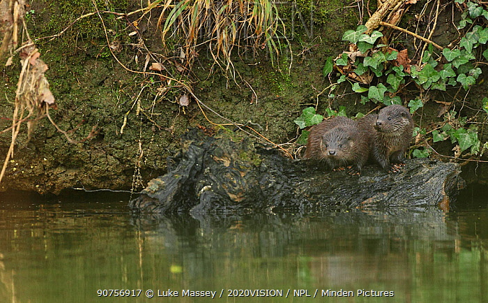 Two juvenile European river otters (Lutra lutra) on a log in a river, Hertfordshire, England, UK