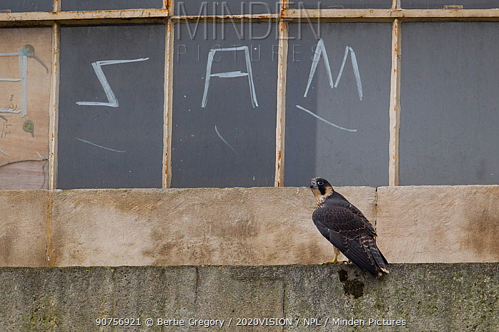 Juvenile male Peregrine falcon (Falco peregrinus)perched on a window ledge, with graffitied window behind, Bristol, England, UK, June.