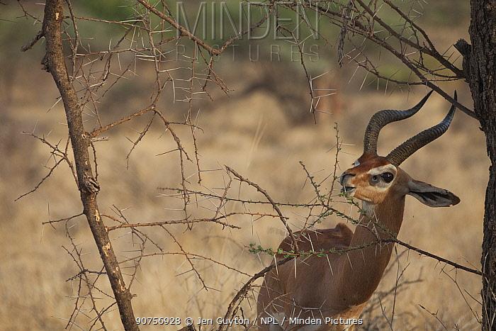Gerenuk (Litocranius walleri) male browsing leaves  Samburu National Reserve, Kenya
