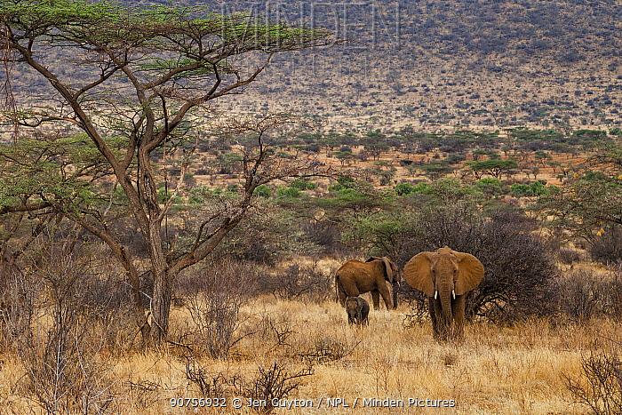 African elephants (Loxodonta africana), two adults and a calf,  in the Samburu Reserve, Kenya.  Cropped image.