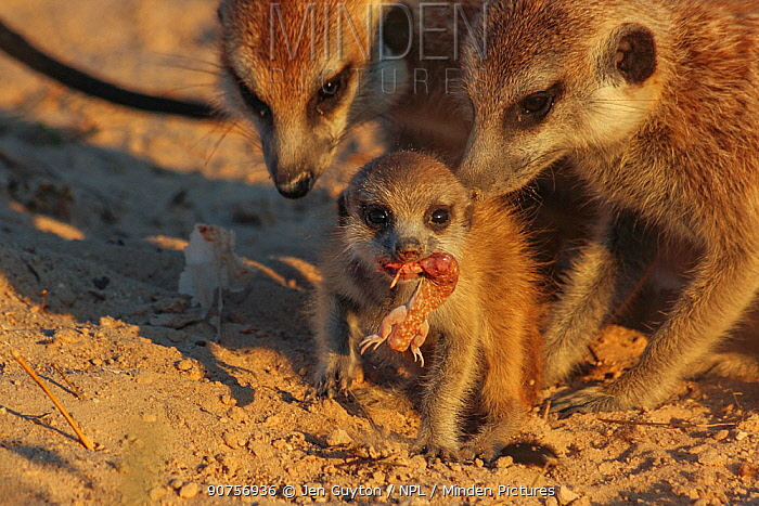 Meerkat pup (Suricata suricatta) eating a gecko as its adult family members look on in the Kalahari Desert, South Africa. Small repro only.