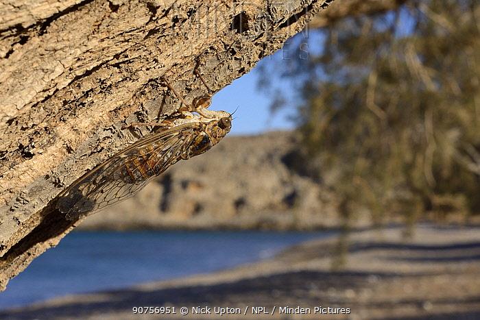 Cretan cicada (Cicada cretensis) on a Tamarisk (Tamarix sp.) tree trunk on a beach, Crete, Greece, July.