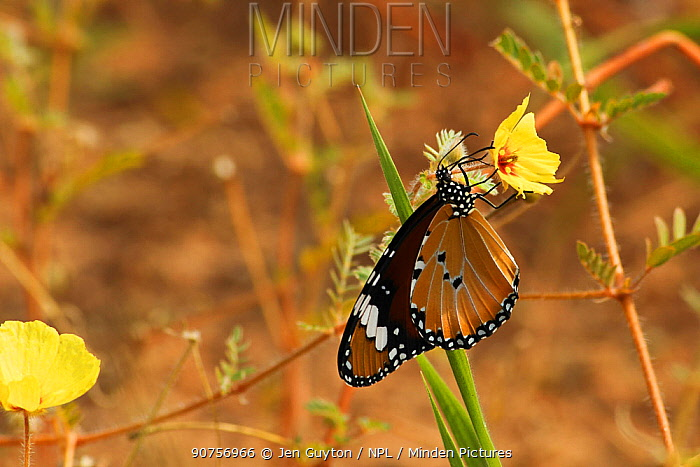 African monarch butterfly (Danaus chrysippus) sipping nectar from a Devil's thorn flower (Tribulus zeyheri) in the Kalahari Desert, South Africa.