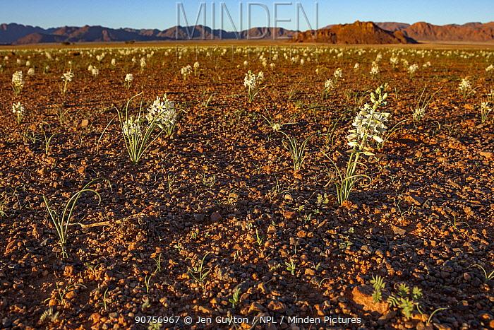 Flowers (Hyacinthaceae) recently emerged after rain. Namib Desert, Namibia. Crop.