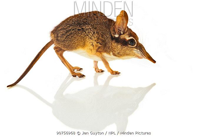 Four-toed elephant shrew (Petrodromus tetradactylus) studio shot, Gorongosa, Mozambique.
