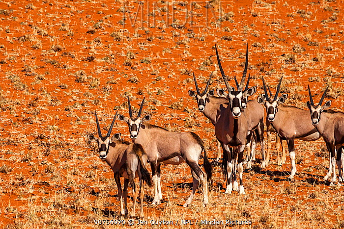 Herd of Gemsbok / Oryx (Oryx gazella), several young and an adult male, on the deep orange dune sand in the Namib Desert, Namibia.
