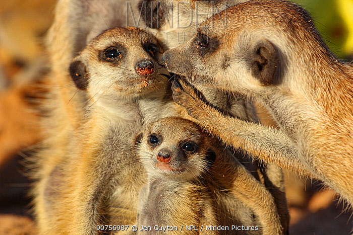 Meerkat (Suricata suricatta) grooming a family member with its teeth. Kalahari Desert, South Africa.