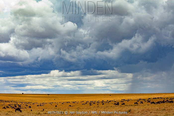 Rainstorm  clearing over  savannah at the boundary of the Masai Mara National Reserve and Serengeti National Park with  Blue  wildebeest (Connochaetes taurinus mearnsi) migrating. Masai Mara, Kenya.