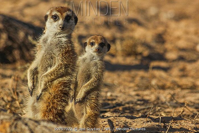 Meerkat pup (Suricata suricatta) standing behind its adult family member in the Kalahari Desert, South Africa.