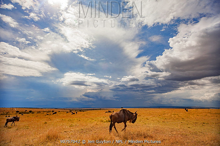 White-bearded wildebeest (Connochaetes tuarinus mearnsi) migration across the savanna as a rainstorn clears overhead. Maasai Mara Reserve, Kenya.  October 2012