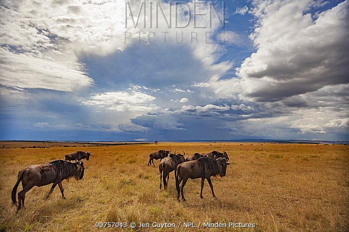 Blue wildebeest (Connochaetes taurinus mearnsi) wandering across the savanna as a rainstorm clears overhead. Maasai Mara Reserve, Kenya.
