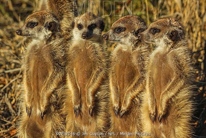 Meerkat (Suricata suricatta) four siblings stand in line among  grass, Kalahari Desert, South Africa