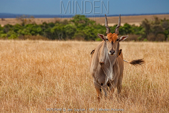Common eland (Taurotragus oryx) with Red-billed oxpeckers (Buphagus erythrorhynchus) and yellow-billed oxpecker (Buphagus africanus) standing on the savanna in the Maasai Mara Reserve, Kenya.