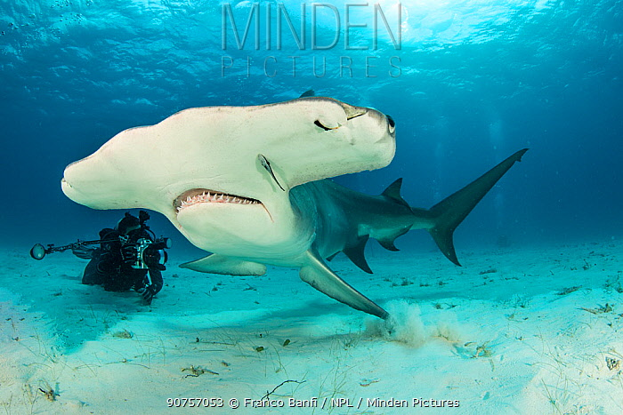 Great hammerhead shark (Sphyrna mokarran) being photographed by a scuba diver, South Bimini, Bahamas. The Bahamas National Shark Sanctuary, West Atlantic Ocean.