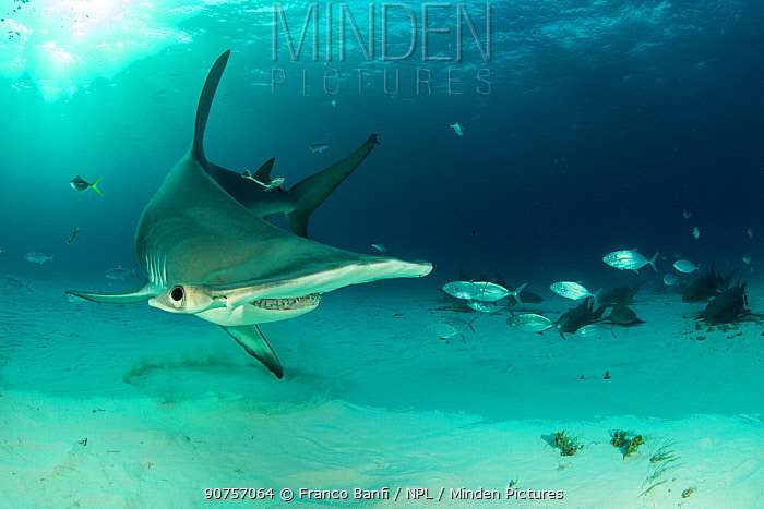 Great hammerhead shark (Sphyrna mokarran) swimming over sandy seabed near resting Nurse sharks (Ginglymostoma cirratum), Bar jacks (Caranx ruber) and Remora fish, South Bimini, Bahamas. The Bahamas National Shark Sanctuary, West Atlantic Ocean.