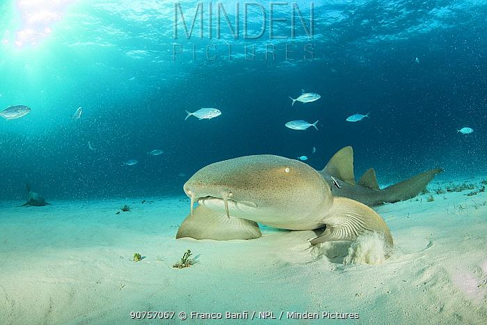 Close up of Nurse shark (Ginglymostoma cirratum) using pectoral fins to walk along the seabed,  South Bimini, Bahamas. The Bahamas National Shark Sanctuary, West Atlantic Ocean.