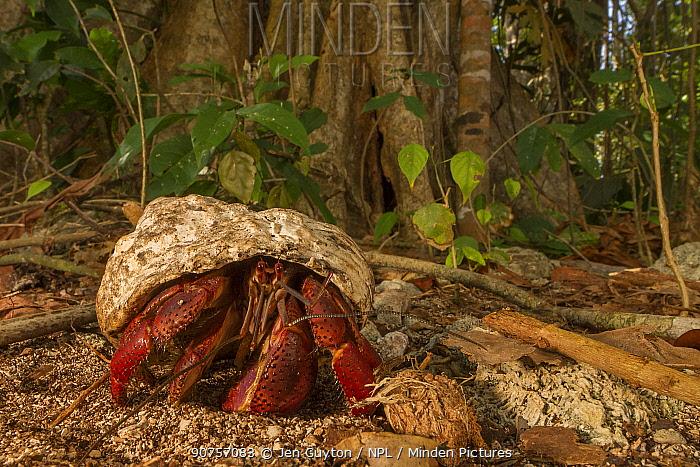 Hermit crab (Coenobita clypeatus)  near Cahuita, Costa Rica.