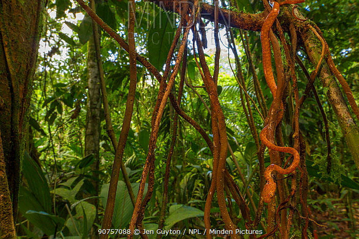 Speckled blunthead tree snake (Imantodes inornatus) among vines and lianas in the rainforest at La Selva Biological Station, Costa Rica.