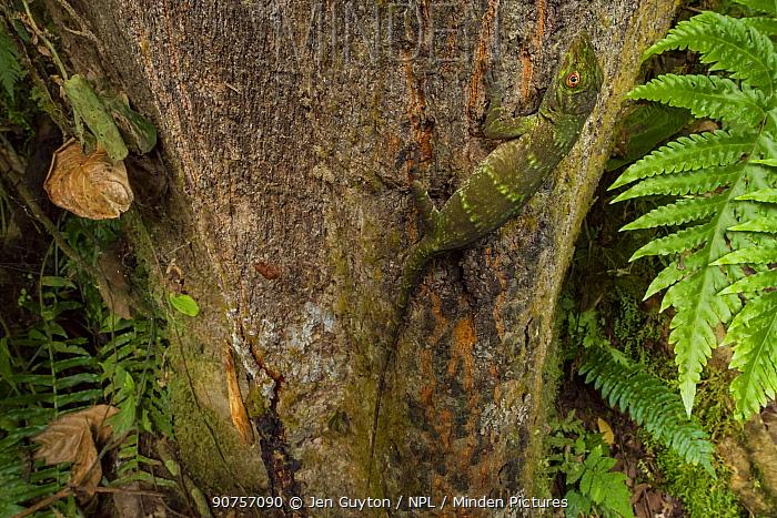 Neotropical green anole (Anolis biporcatus) on a tree, La Selva Biological Station, Costa Rica.