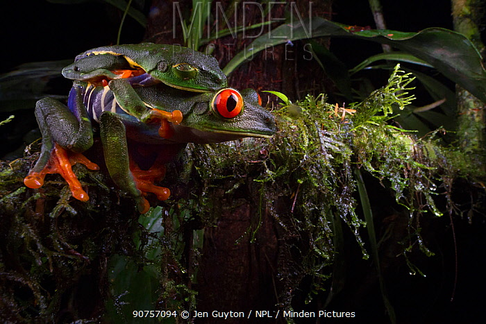 Red-eyed tree frog (Agalychnis callidryas) male sleeping on top of female while he waits for her to lay eggs. Costa Rica.