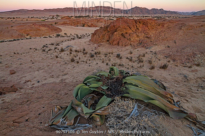 The desert endemic Welwitschia plant (Welwitschia mirabilis) at sunset near Swakopmund, Namibia. These species are among the most ancient organisms on the planet: some individuals might be more than 2000 years old. June 2016