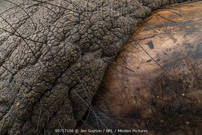 Wrinkled skin and tusk of an African elephant (Loxodonta africana). The elephant was sedated by veterinarians to put a GPS collar on him.