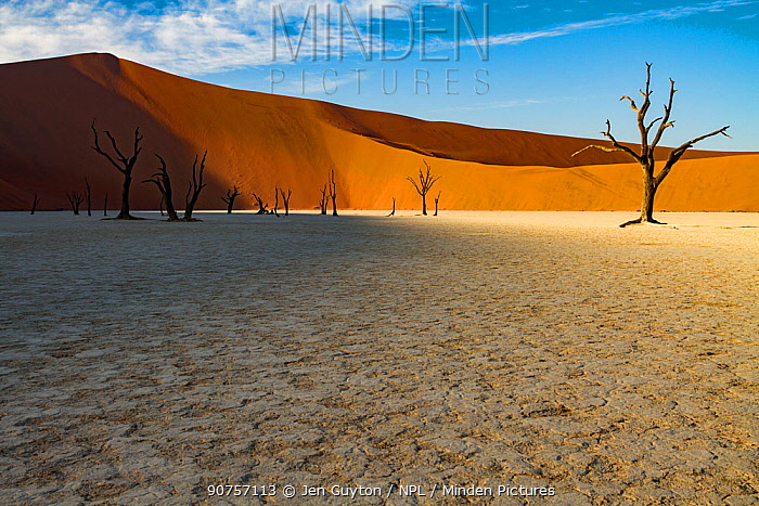 Dead Acacia trees in a salt pan in the Namib-Naukluft National Park,  the Dead Vlei, Sossusvlei, Namibia.