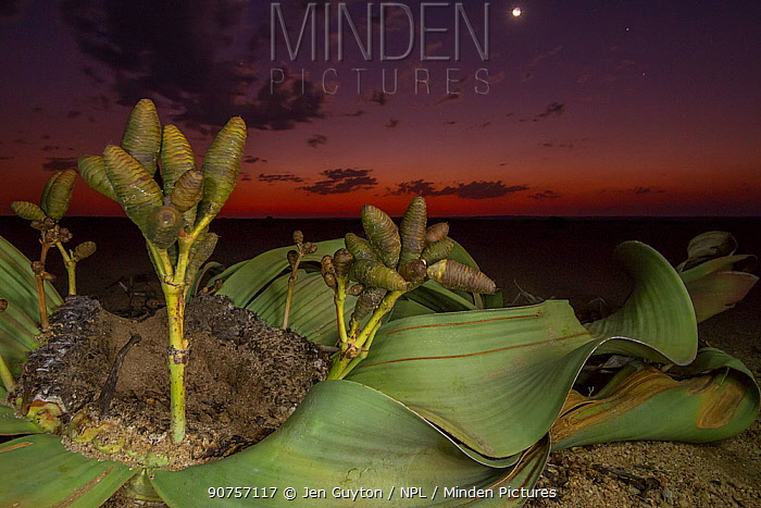 Cones of a female Welwitschia plant (Welwitschia mirabilis) at night, Swakopmund, Namib Desert, Namibia. They are among the most ancient organisms on the planet: some individuals might be more than 2000 years old.