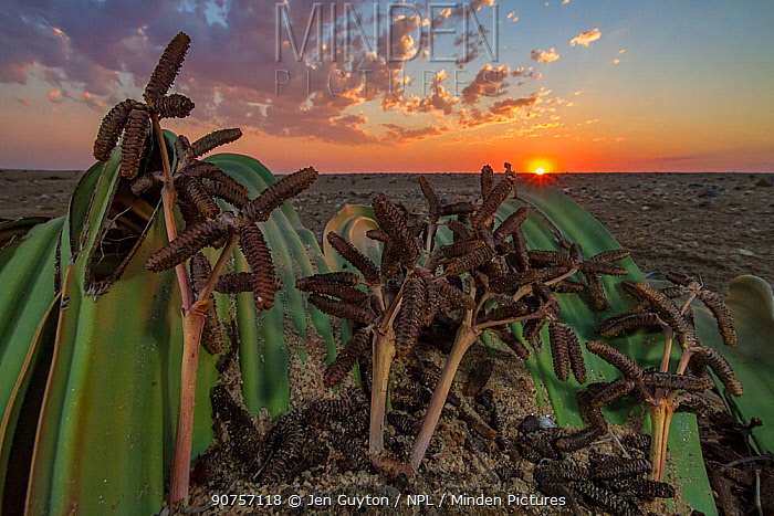 Male cones of the desert endemic Welwitschia plant (Welwitschia mirabilis) at sunset near Swakopmund, Namibia. These are among the most ancient organisms on the planet: some individuals might be more than 2000 years old.