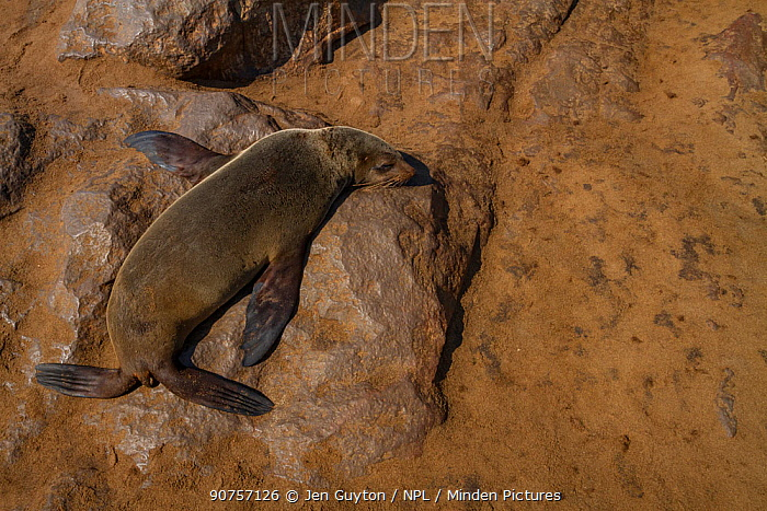 A cape fur seal (Arctocephalus pusillus) basks in the sun near a large seal colony at Cape Cross, Namibia. The seals can be seen swimming and basking on shore in huge groups.