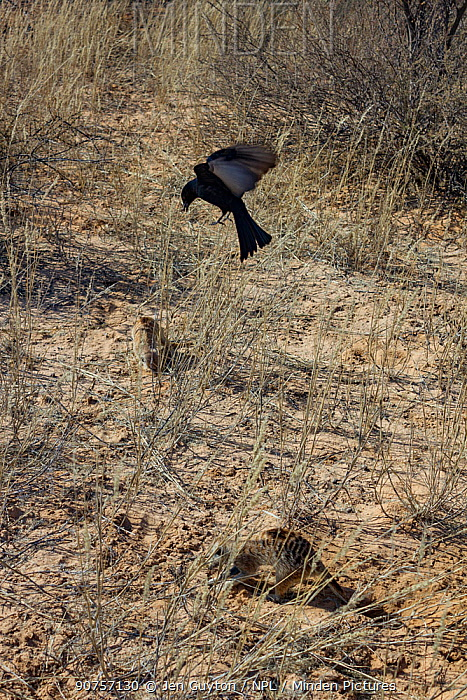 Fork-tailed drongo (Dicrurus adsimilis) hovers over a foraging Meerkat (Suricata suricatta). The drongo will imitate the alarm call of other birds and then swoop down and steal the food the meerkat has found. Kalahari Desert, South Africa