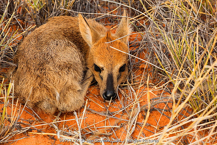 Grey duiker (Sylvicapra grimmia) calf hiding in the grass in the Kalahari Desert, South Africa