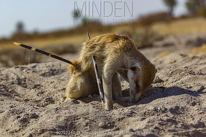 Meerkat (Suricata suricatta) barely alive, with Cape porcupine (Hystrix africaeaustralis) quills through his abdomen. Kalahari Desert, South Africa.