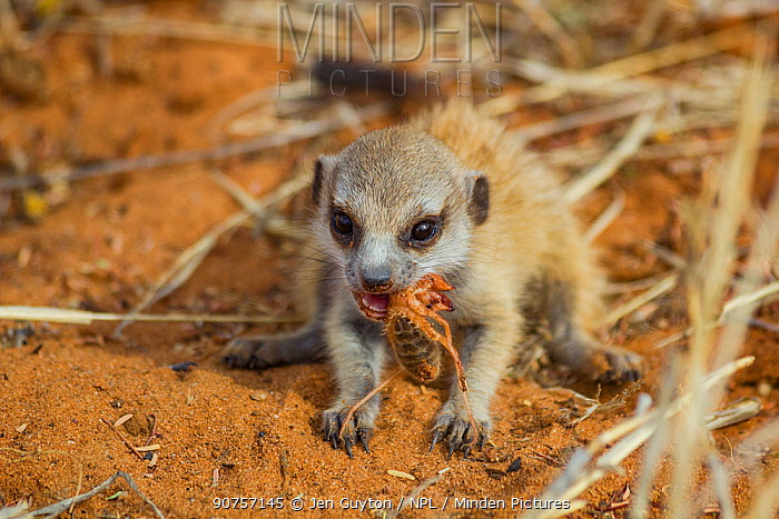 Meerkat pup (Suricata suricatta) eating a solifuge in the Kalahari Desert, South Africa
