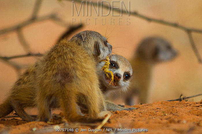 Meerkat pup (Suricata suricatta) attempting to steal a scorpion (Parabuthus sp.) from its sibling, which was fed the scorpion by an adult. Kalahari Desert, South Africa.