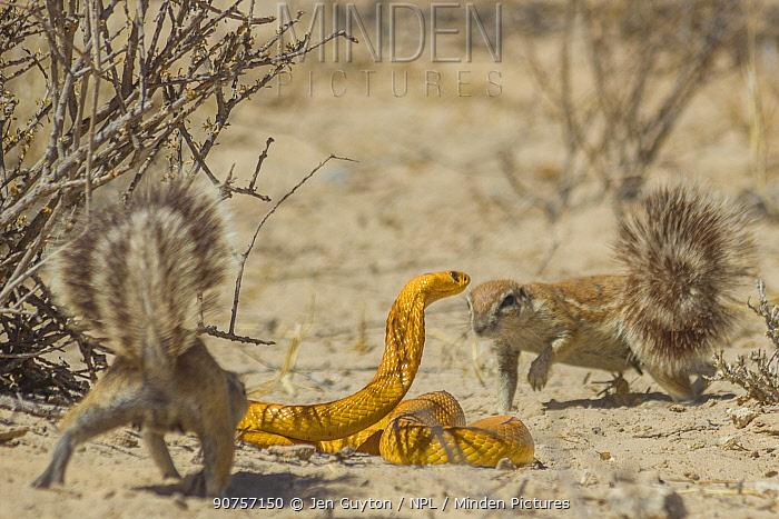 Cape ground squirrels (Xerus inauris) mobbing a Cape cobra (Naja nivea) that had come too close to their burrow in the Kalahari Desert, South Africa.