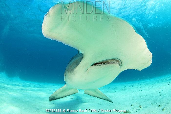 Close up of a Great hammerhead shark (Sphyrna mokarran) swimming over sandy seabed, South Bimini, Bahamas. The Bahamas National Shark Sanctuary, West Atlantic Ocean.