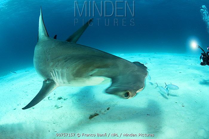 Great hammerhead shark (Sphyrna mokarran) swimming over sandy seabed being photographed, South Bimini, Bahamas. The Bahamas National Shark Sanctuary, West Atlantic Ocean.