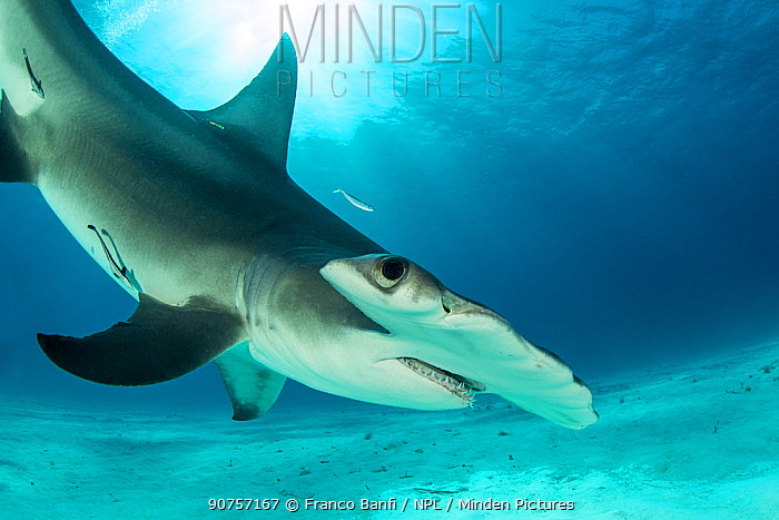 Great hammerhead shark (Sphyrna mokarran) swimming over sandy seabed, South Bimini, Bahamas. The Bahamas National Shark Sanctuary, West Atlantic Ocean.