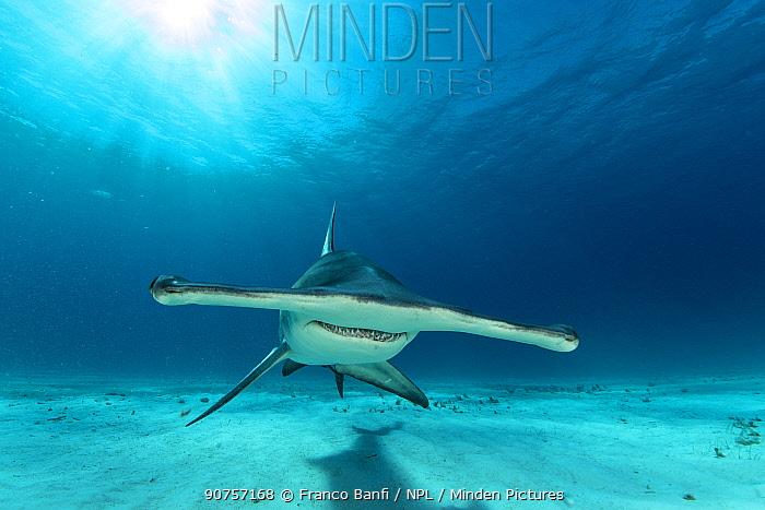 Front view of a Great hammerhead shark (Sphyrna mokarran) swimming over sandy seabed, South Bimini, Bahamas. The Bahamas National Shark Sanctuary, West Atlantic Ocean.