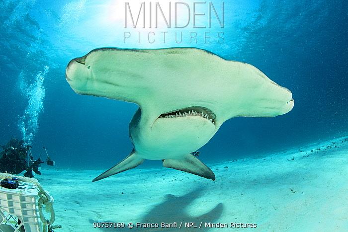 Great hammerhead shark (Sphyrna mokarran) swimming over sandy seabed, South Bimini, Bahamas. The Bahamas National Shark Sanctuary, West Atlantic Ocean.