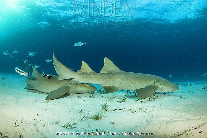 Nurse sharks (Ginglymostoma cirratum) on a sandy seabed with Bar jacks (Caranx ruber) and Remora fish,  South Bimini, Bahamas. The Bahamas National Shark Sanctuary, West Atlantic Ocean.